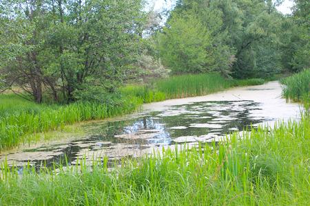 duckweed: Small river overgrown with duckweed Stock Photo