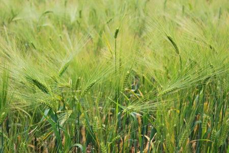 green wheat: Field of green wheat