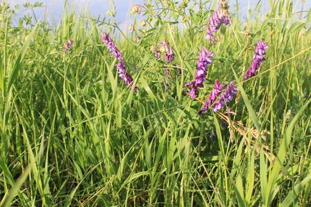 vetch: Purple flowers of mouse peas. Vicia Cracca (Tufted Vetch, Cow Vetch, Bird Vetch, Boreal Vetch, Blue Vetch) Stock Photo
