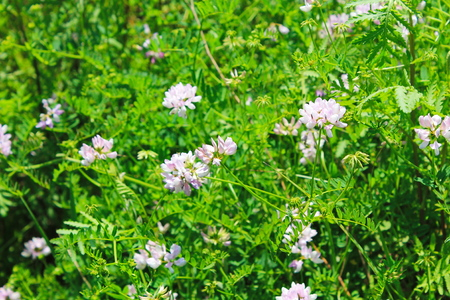 vetch: Crown Vetch (Securigera varia or Coronilla varia) Stock Photo