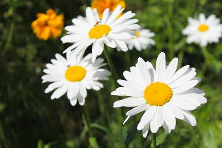 camomile: Camomile in garden