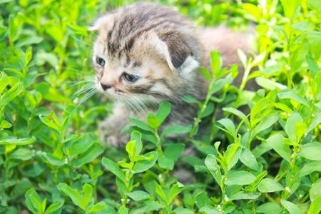 british pussy: British kitten on green grass