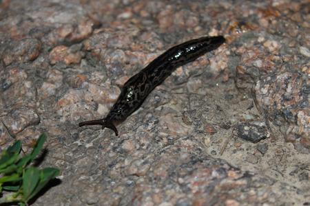 babosa: Slug en la piedra Foto de archivo