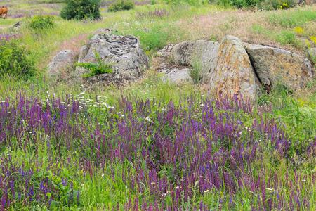Meadow of purple wild salvia flowers