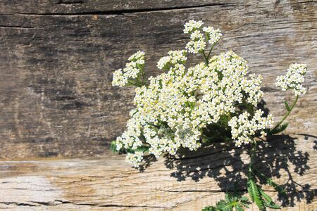yarrow: White yarrow flowers on the wooden background Stock Photo