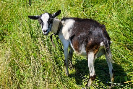 Small goat on pasture