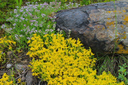 Goldmoss stonecrop  and wild thyme