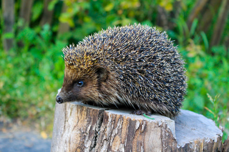 Hedgehog on the log 写真素材