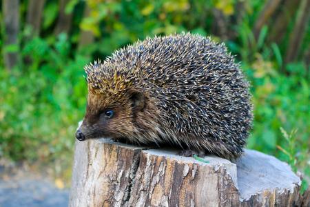 Hedgehog on the log Archivio Fotografico