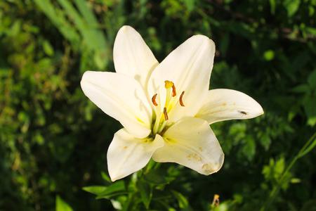lemony: Lily in the garden Stock Photo