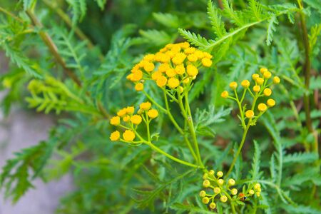 Tansy flower on the meadow