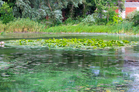 Green algae on the water surface Stock Photo