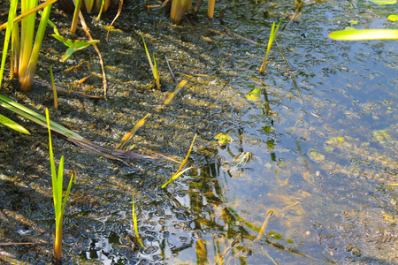 animals amphibious: Frogs in the swamp