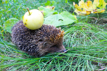 Hedgehog carry apple on the back Stock Photo