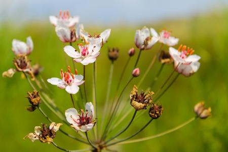 rush: Flowering Rush (Butomus umbellatus) Stock Photo