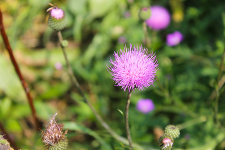 melancholy: Melancholy thistle (Cirsium Heterophyllum)