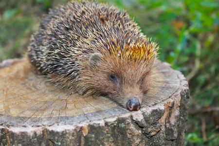 brute: Hedgehog on the log Stock Photo