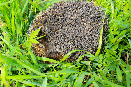 Hedgehog on green grass Stock Photo
