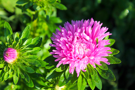 aster: Pink aster in the garden Stock Photo