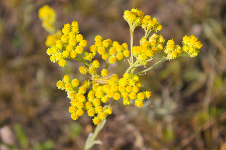Helichrysum arenarium on meadow 写真素材
