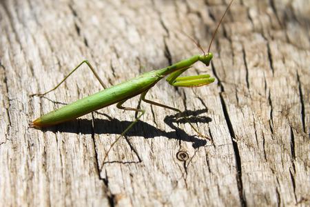 religiosa: Praying mantis (Mantis religiosa) Stock Photo