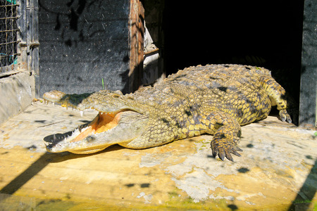 captivity: Crocodile in  zoo
