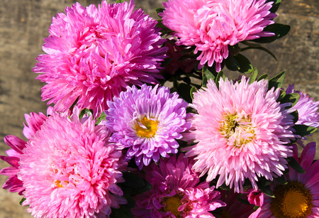 aster flowers: Aster flowers background