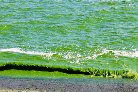 green algae: Blooming green water. Green algae polluted river