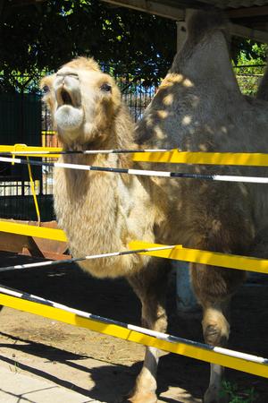 arab beast: Camel in paddock