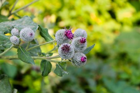 Blooming burdock (Arctium lappa)