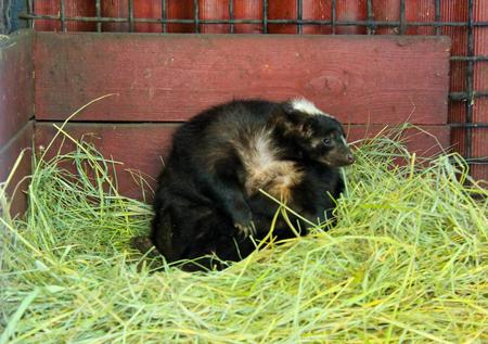 oso perezoso: Zorrillo