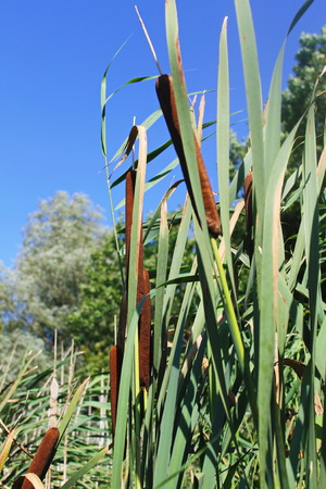 broadleaf: Common bulrush (Typha latifolia) or Broadleaf cattail Stock Photo