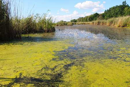 Meer met groene algen en eendweef op het wateroppervlak