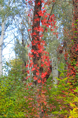 Tree twined wild grapes in autumn forest Stock Photo
