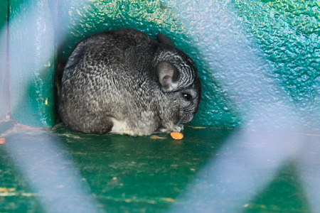Chinchilla in cage Stock Photo