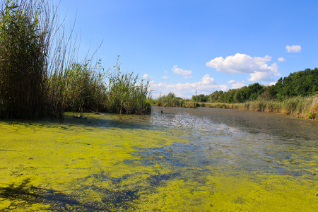 green algae: Lake with green algae and duckweed on the water surface Stock Photo