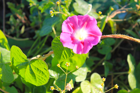 convolvulaceae: Pink morning glory in garden Stock Photo