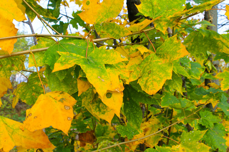 Autumn maple leaves on a branch