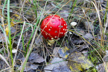 muscaria: Red mushroom (Amanita Muscaria, Fly Ageric, Fly Amanita) in autumn forest