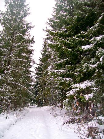 fur trees: Fur trees in winter forest in Carpathian mountains, Ukraine