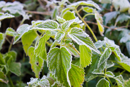 First morning frost on the green plants