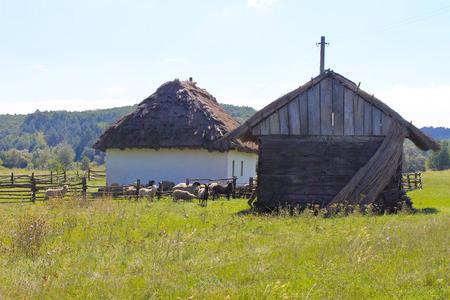 Sheep near the old barn