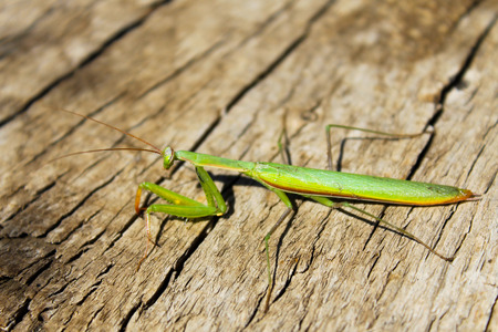 mantis: Praying mantis (Mantis religiosa) Stock Photo
