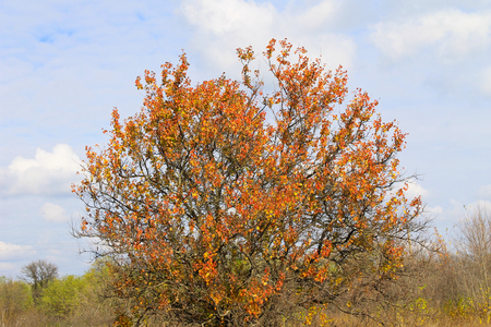 Alone apricot tree against blue sky on autumn Stock Photo