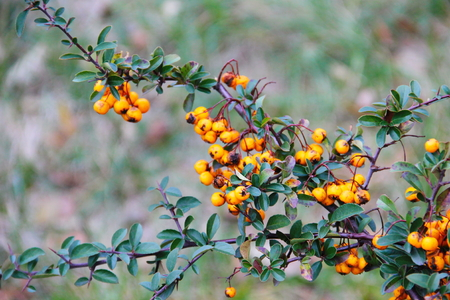 Yellow pyracantha berries on the bush Stock Photo