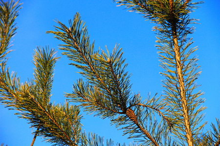 Pine tree branch against blue sky close-up