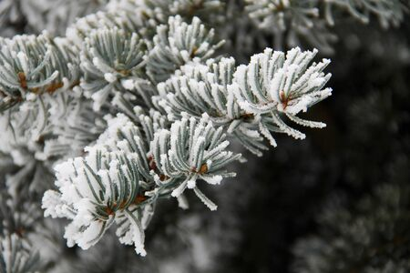 Spruce branches covered with hoarfrost Stock Photo