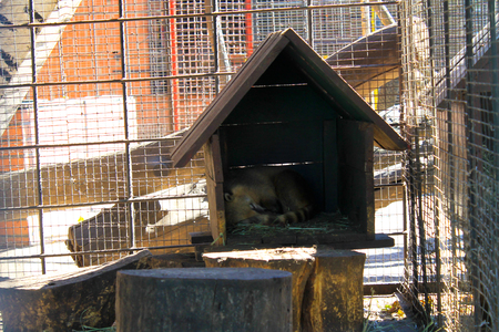 Coati sleeping in a cage