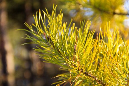Green branch of the pine tree close-up