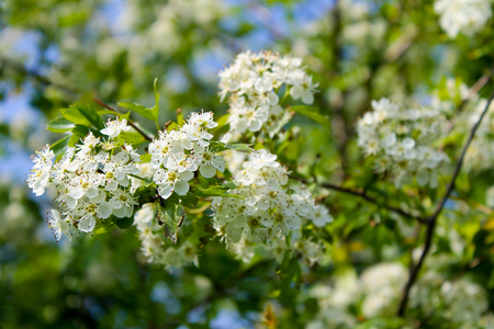 crab apple tree: Tree branches with white spring blossoms Stock Photo